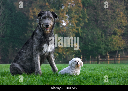 Irish wolfhound with white Maltese dog in garden - Stock Photo