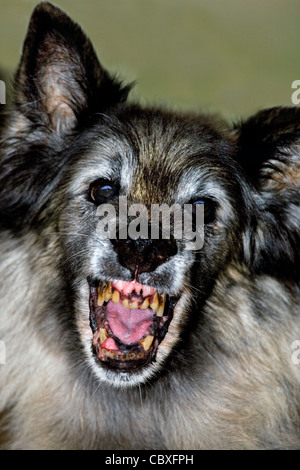 Old terrifying Tervuren Belgian Shepherd Dog showing open mouth with ugly, rotten teeth - Stock Photo