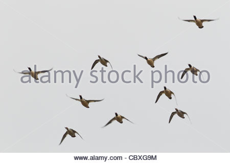 A flock of common mergansers (Mergus merganser) flies in formation over the Snohomish River near Kenmore, Washington. - Stock Photo