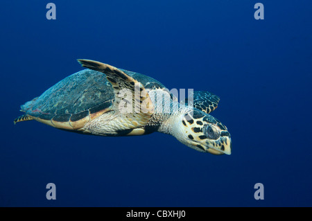A Hawksbill turtle swimming in Little Cayman. - Stock Photo
