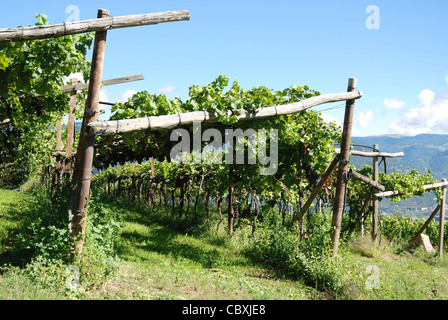 Vineyard in Girlan at the South Tyrolean wine street at Bozen. - Stock Photo