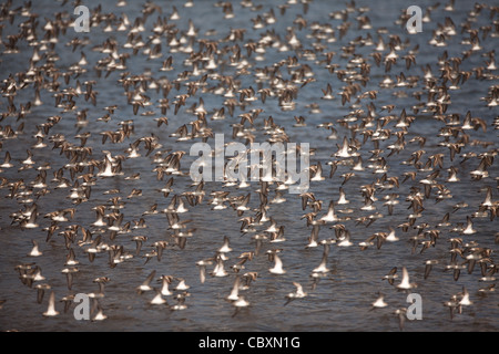 Flock of shorebirds in flight at Punta Chame, Pacific coast, Panama province, Republic of Panama. - Stock Photo