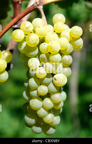 Grape in the cultivable area of Girlan at the South Tyrolean wine route. - Stock Photo