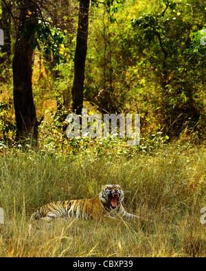 Royal Bengal Tiger in habitat of Tadoba Andhari Tiger Reserve - Stock Photo
