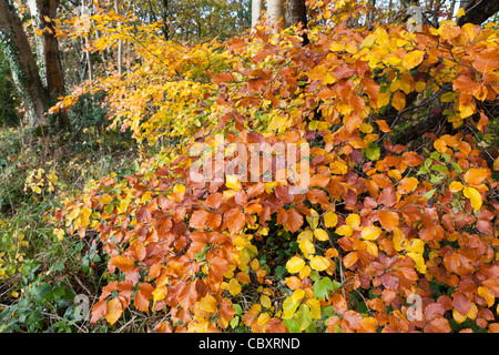 Multi coloured leaves on a Cotswold beech tree in autumn at Edge, Gloucestershire - Stock Photo