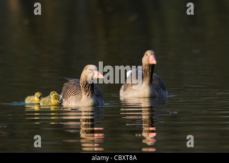 Greylag goose / graylag goose pair (Anser anser) swimming with goslings on lake in spring, Germany - Stock Photo