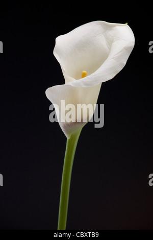 Zantedeschia / Calla lily, native to southern Africa - Stock Photo