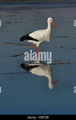a White Stork in a marsh - Stock Photo