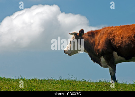 Hereford cow in pasture in The Catlins on southern coast of New Zealand's South Island. - Stock Photo
