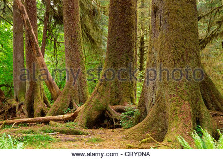Trunks of Sitka spruce demonstrate buttressed growth from sprouting on a nurselog, Hoh Rain Forest, Olympic Nat. - Stock Photo