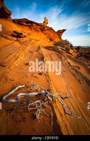 Dead juniper contrasted against a sandstone wall in Vermilion Cliffs National Monument, Arizona - Stock Photo