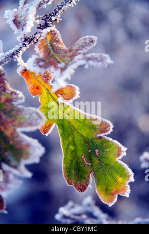 Frosted oak leaves (quercus robur) on a December morning. - Stock Photo
