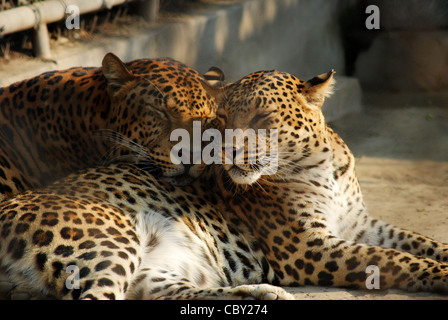 indian leopard (Panthera pardus fusca),indian wildlife. - Stock Photo