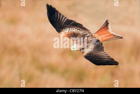 Red Kite Milvus milvus flying low over Welsh Countryside