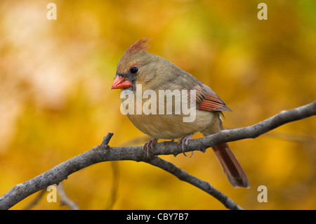 Female Northern Cardinal Perched on Small Twig with Autumn Color Behind in Floyd County, Indiana - Stock Photo
