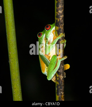 Red-eyed Tree Frog (Agalychnis callidryas), Costa Rica - Stock Photo