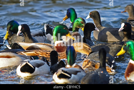 Male and female Mallards ducks and coots swimming in a group on a lake in search for food. - Stock Photo