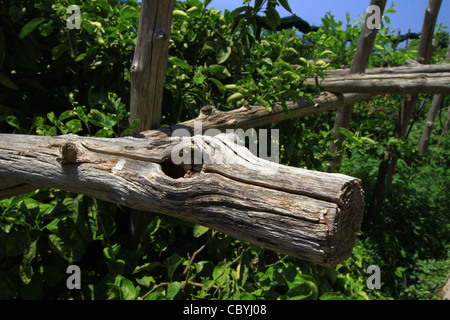Weird tree shaped like an animals head, dog tree. orange groves spread-out trestles of supports a supporting structure. - Stock Photo