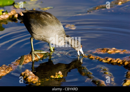 American Coot - Wakodahatchee Wetlands - Delray Beach, Florida, USA - Stock Photo