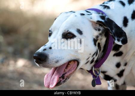 Panting Dalmatian, portrait - Stock Photo