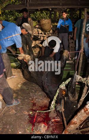 India, Arunachal Pradesh, Along, Kombo village, Hurin harvest festival, ritually sacrificed mithun with throat slit - Stock Photo