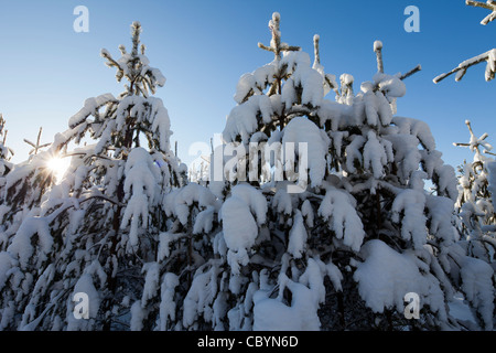 Young pine ( pinus sylvestris ) saplings at forest at Winter , Finland - Stock Photo