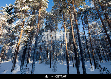 Young pine ( pinus sylvestris ) trees at forest at Winter , Finland - Stock Photo