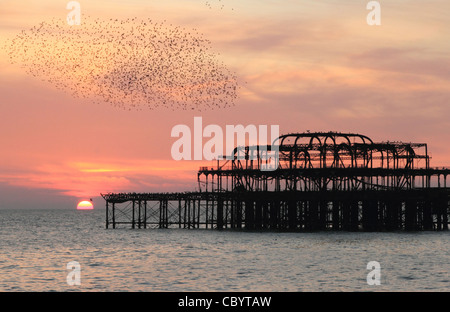 A flock of starlings flying around the West Pier Brighton, Sussex at sunset in November - Stock Photo
