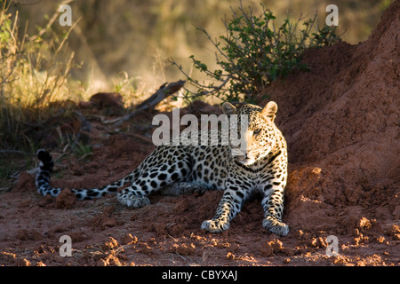 Leopard by termite mound - Africat Foundation - Okonjima, near Otjiwarongo, Namibia, Africa - Stock Photo