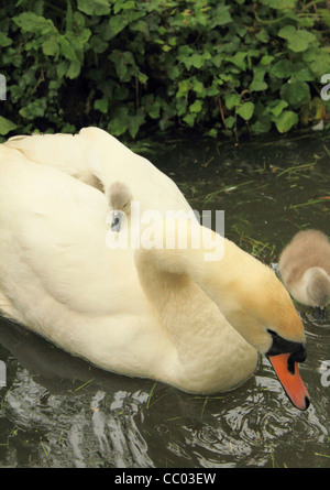 Fluffy cygnet catching ride on adult mute swans back - Stock Photo