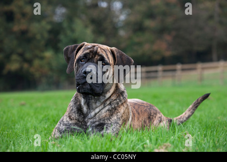 Boerboel, mastiff dog breed from South Africa - Stock Photo