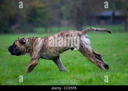 Boerboel, mastiff dog breed from South Africa, running in garden - Stock Photo
