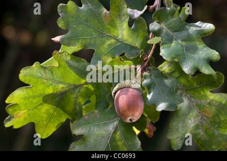 Acorns and leaves of English oak / pedunculate oak tree (Quercus robur), Belgium - Stock Photo