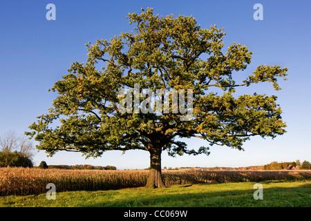Lonely English oak / pedunculate oak (Quercus robur) in field in autumn, Belgium - Stock Photo