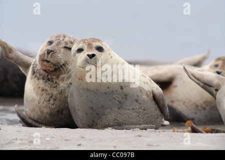 common seal; Latin: Phoca vitulina; harbour seal, harbor seal - Stock Photo