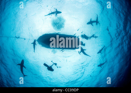 Sharks surround a dive boat and scuba divers off the coast of Cuba. - Stock Photo