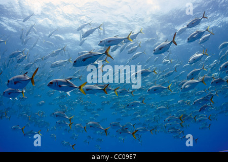 A large school of horse-eye jacks (Caranx latus) off the coast of Cuba. - Stock Photo