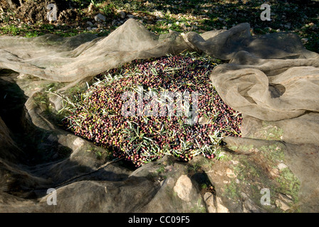 Harvested olives laying in net on ground waiting to be bagged and taken to  the mill for pressing - Stock Photo