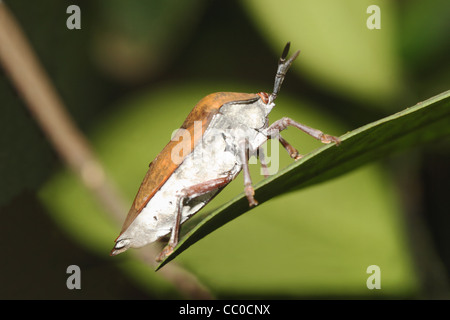 The brown marmorated stink bug (Halyomorpha halys) - Stock Photo