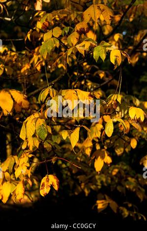 Aesculus parviflora, Dwarf Buckeye, in autumn - Stock Photo
