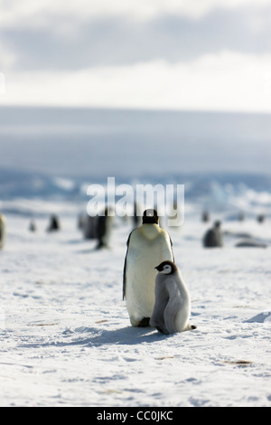 30 day old emperor chicks and adult Aptenodytes forsteri Wild - Stock Photo