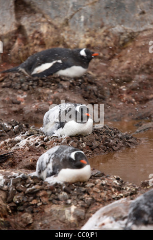 Antarctic Gentoo Penguin Pygoscelis papua nesting bright orange-red bill   Antarctic Peninsula rocks pebbles nesting - Stock Photo