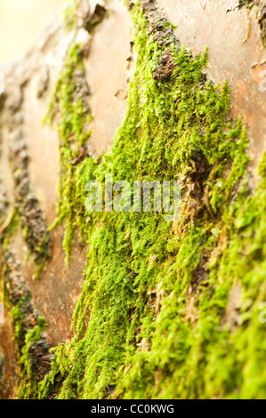 Moss growing on the trunk of a Prunus Sargentii, Sargent's Cherry tree - Stock Photo