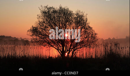 Willow  tree  and  reeds in silhouette at sunset. Leitrim. Ireland - Stock Photo
