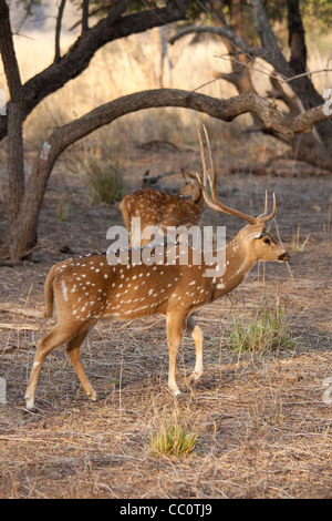 Spotted deer, Axis axis, (Chital), by ruins of mosque in Ranthambhore National Park, Rajasthan, India - Stock Photo