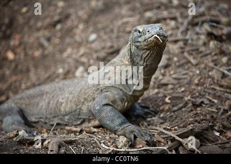 A Komodo dragon (Varanus komodoensis) tastes the air using its long tongue on Komodo Island, Indonesia.