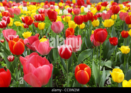 Tulip flowers in the park .. - Stock Photo