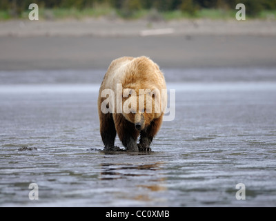 A Brown Bear sow searches for clams on an Alaskan beach - Stock Photo