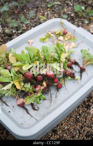 Freshly harvested radishes on rooftop farm - Stock Photo
