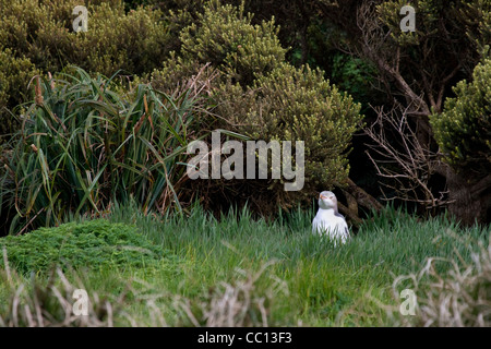 Yellow-eyed penguin (Megadyptes antipodes) on grass on Enderby Island (NZ)